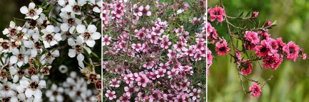 Fleurs de l'Arbre à thé