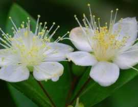 Myrte, Myrtus : planter, tailler et entretenir