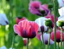 Coquelicots et pavots annuels : semer, cultiver et entretenir