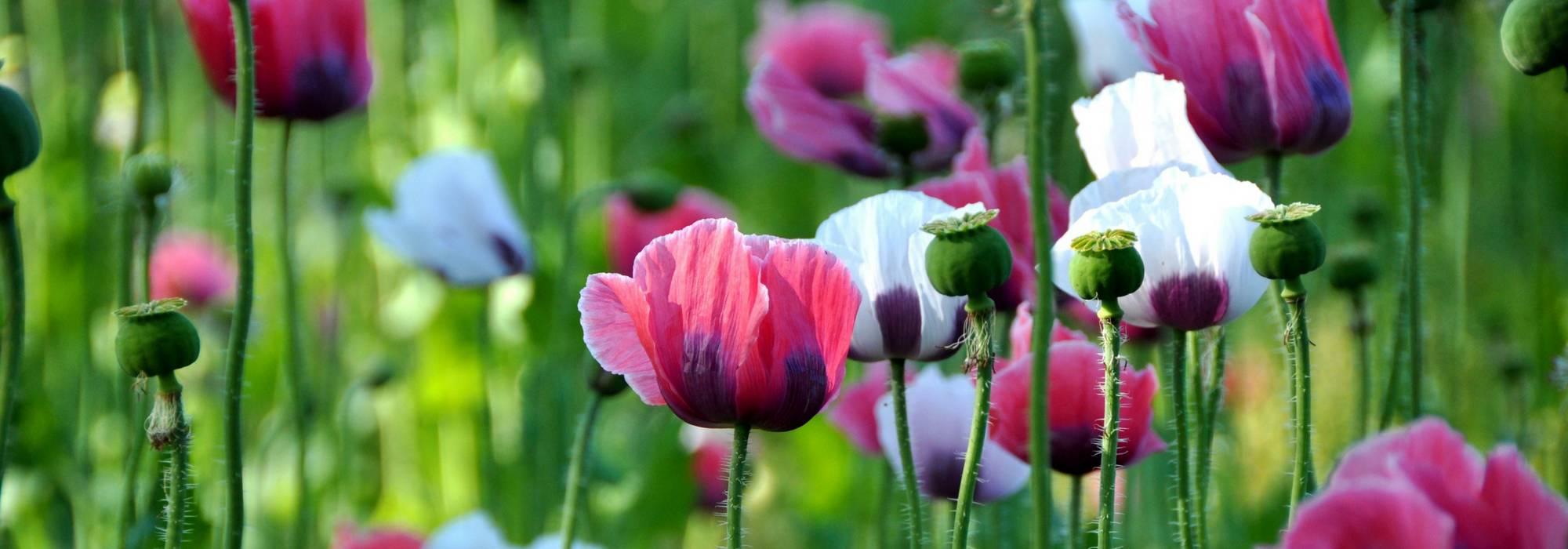 Planter Des Coquelicots Dans Son Jardin coquelicots et pavots annuels : semer, cultiver et