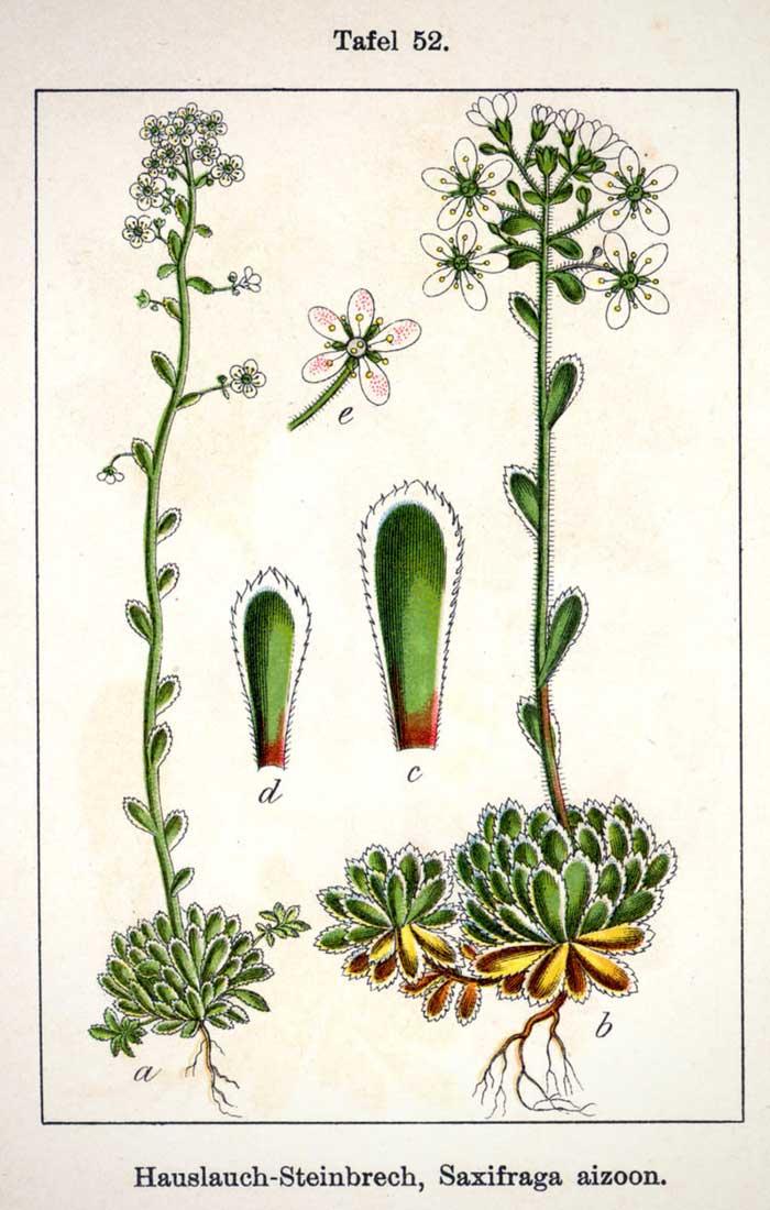 Planche botanique représentant la saxifrage paniculée