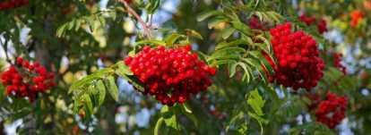Sorbiers, sorbus : planter, tailler et entretenir