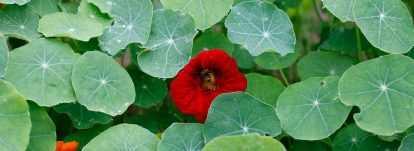 Capucine: planter, semer, entretenir