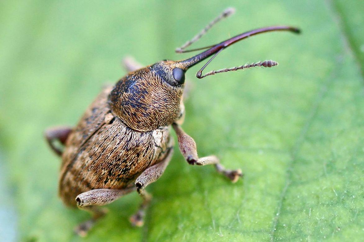 insecte ravageur des noisetiers