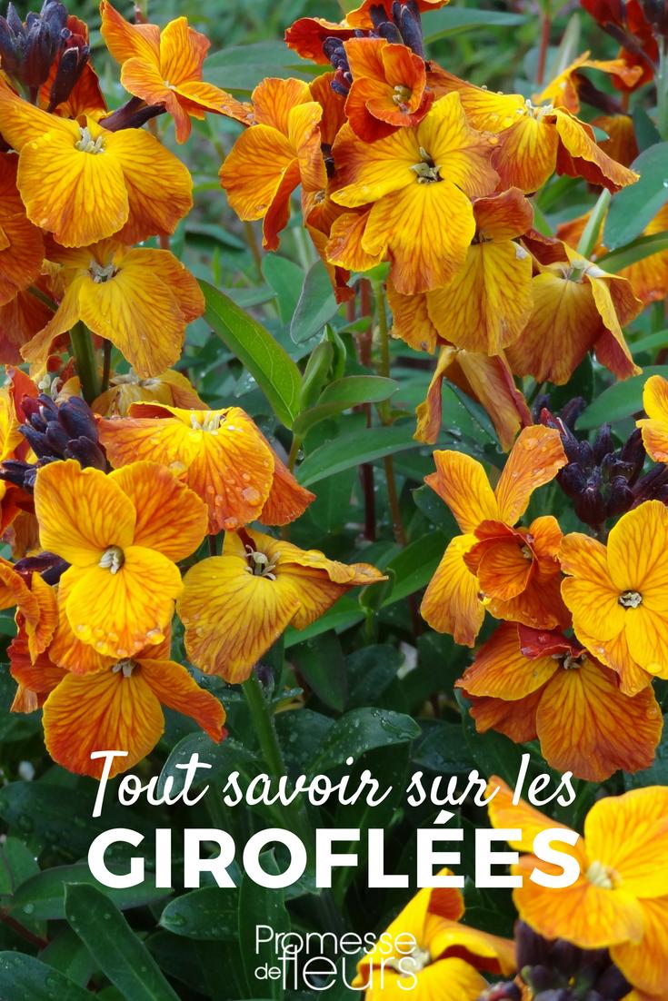 foto de Giroflée : semis plantation taille et entretien