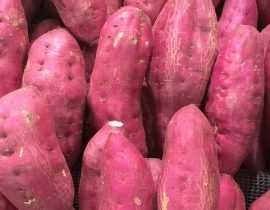 Patate douce : plantation, culture, récolte au potager