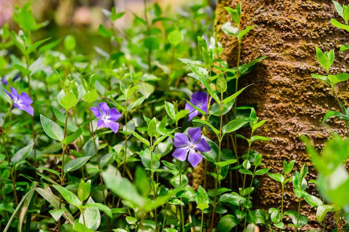 Vinca major VARIEGATA-panachées Une Plus Grande Pervenche plant in 9 cm pot