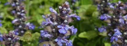 Bugle rampante, Ajuga : planter, cultiver, entretenir