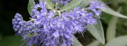 Caryopteris, Spirée bleue : planter, tailler, entretenir