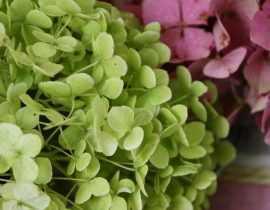 Comment faire sécher les fleurs d'hortensia - Tutoriel
