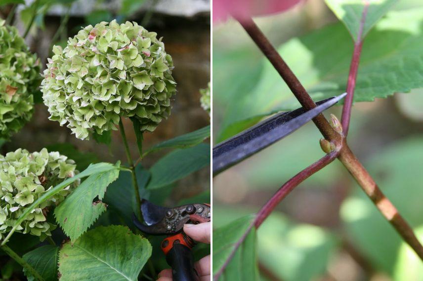 Comment faire s cher les fleurs d 39 hortensia tutoriel promesse de fleurs - Faut il couper les fleurs fanees des hortensias ...