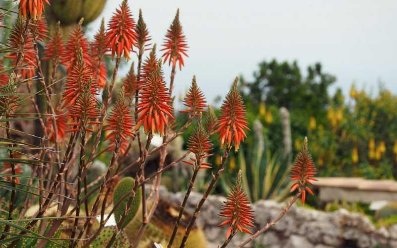 La floraison de l'Aloe succotrina