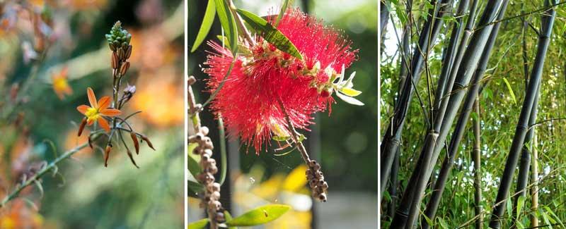 Quelques plantes exotiques du Val Rahmeh : bulbine, callistemon et bambous