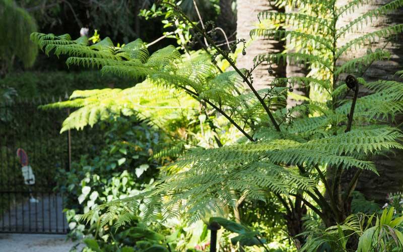 une fougère arborescente au jardin du Val Rahmeh