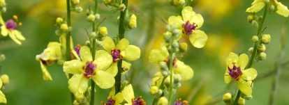 Verbascum, Molène : planter, cultiver et entretenir