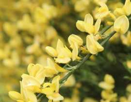 Genêt, Cytisus : plantation, taille, entretien