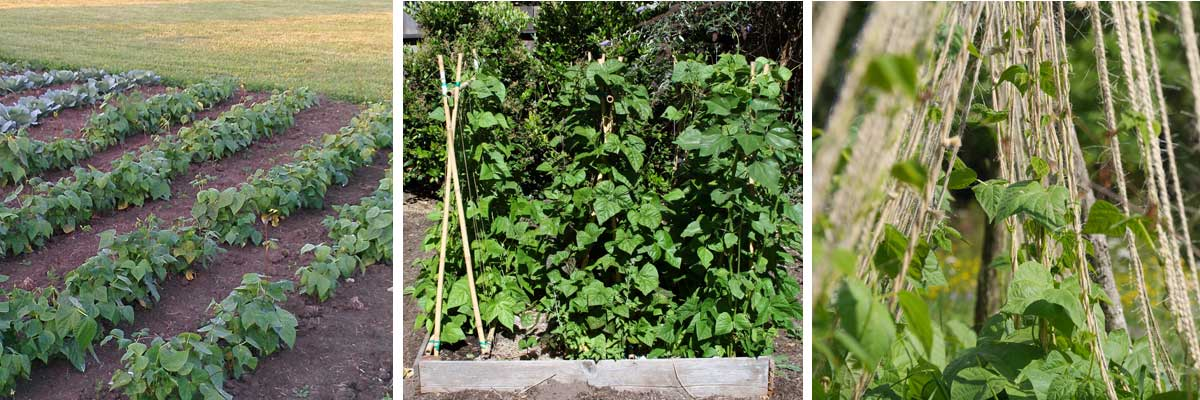 haricots semer cultiver r colter au potager promesse de fleurs. Black Bedroom Furniture Sets. Home Design Ideas