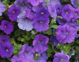 Pétunia, Surfinia, Calibrachoa : planter, semer, entretenir