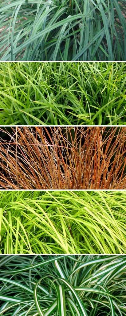 Les différentes couleurs des feuilles de carex