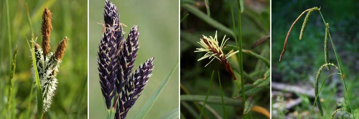 Les fleurs en épis des carex, ou laîches