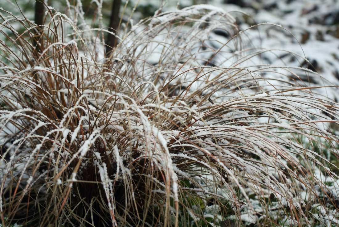 Le Carex buchananii, ou Laîche de Buchanan, en hiver