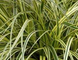 Carex : planter, diviser et entretenir