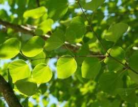 Arbre au caramel, Cercidiphyllum : planter, tailler et entretenir