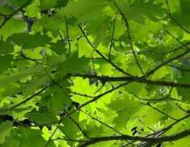 Les chênes : planter, tailler et entretenir