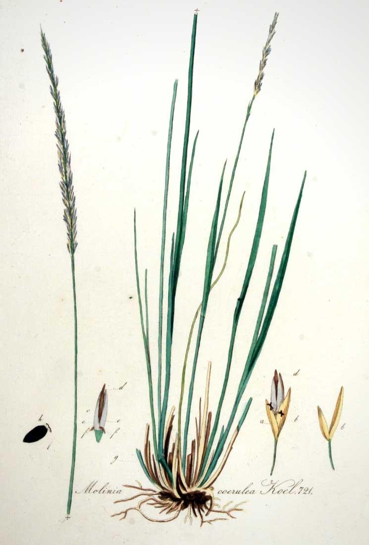 Planche botanique représentant la molinie bleue