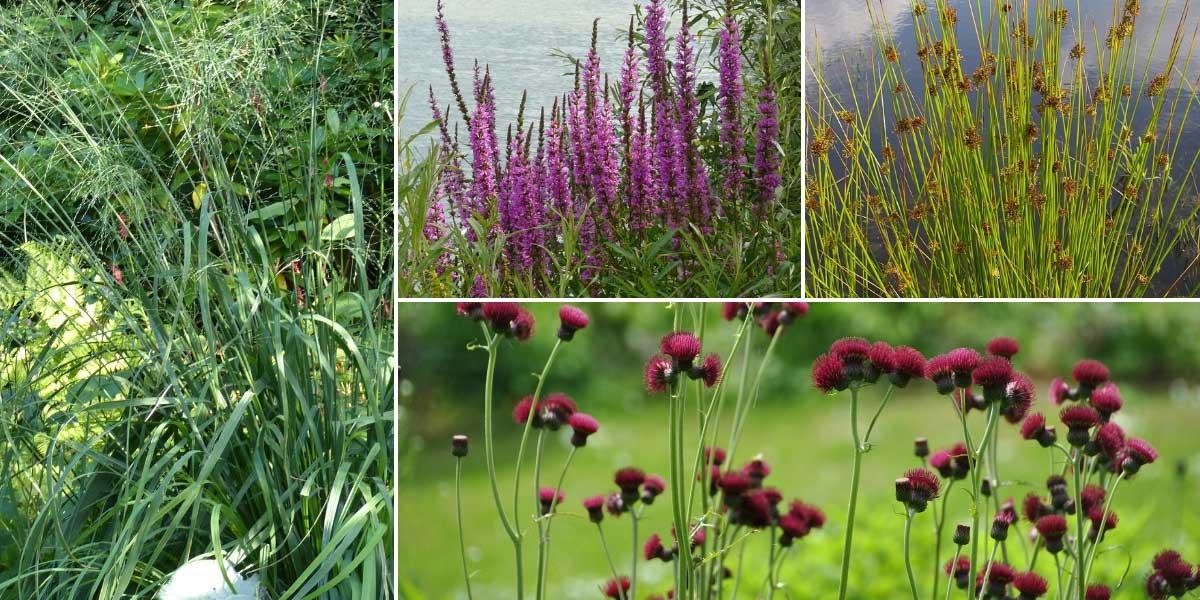 Idées pour associer les molinies au jardin, en bordure de bassin