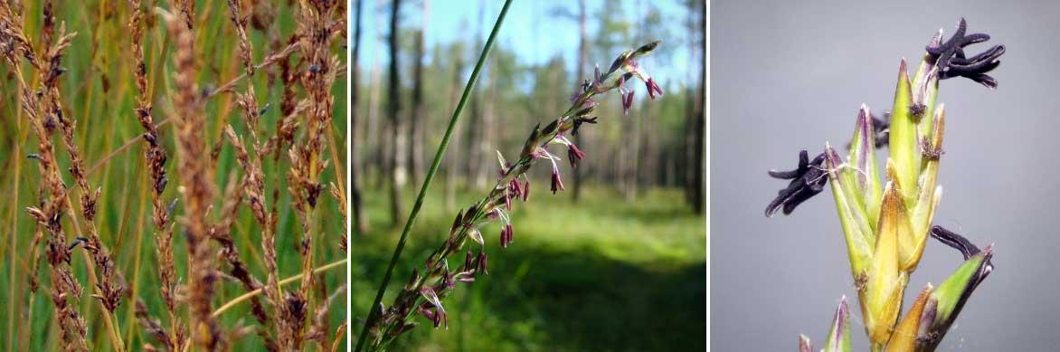 La floraison des molinies, composée d'épillets rassemblant de petites fleurs