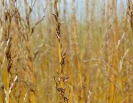 Molinie, Molinia caerulea : plantation, division, taille et entretien