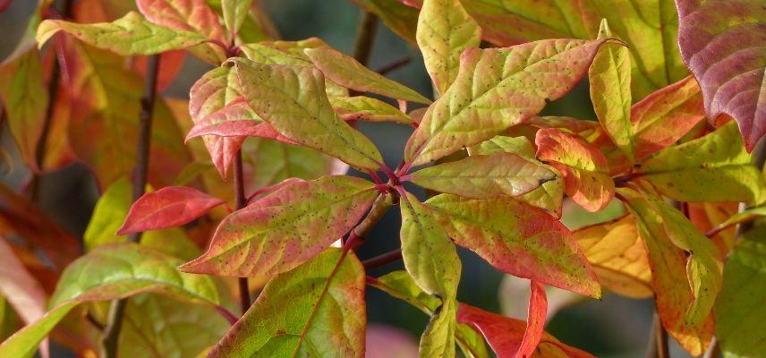 Nyssa sylvatica en automne