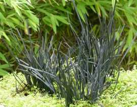 """L'Ophiopogon Hosoba Kokuryu, une nouvelle """"graminée"""" noire"""
