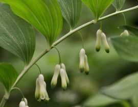 Sceau de Salomon, polygonatum : planter, diviser et entretenir
