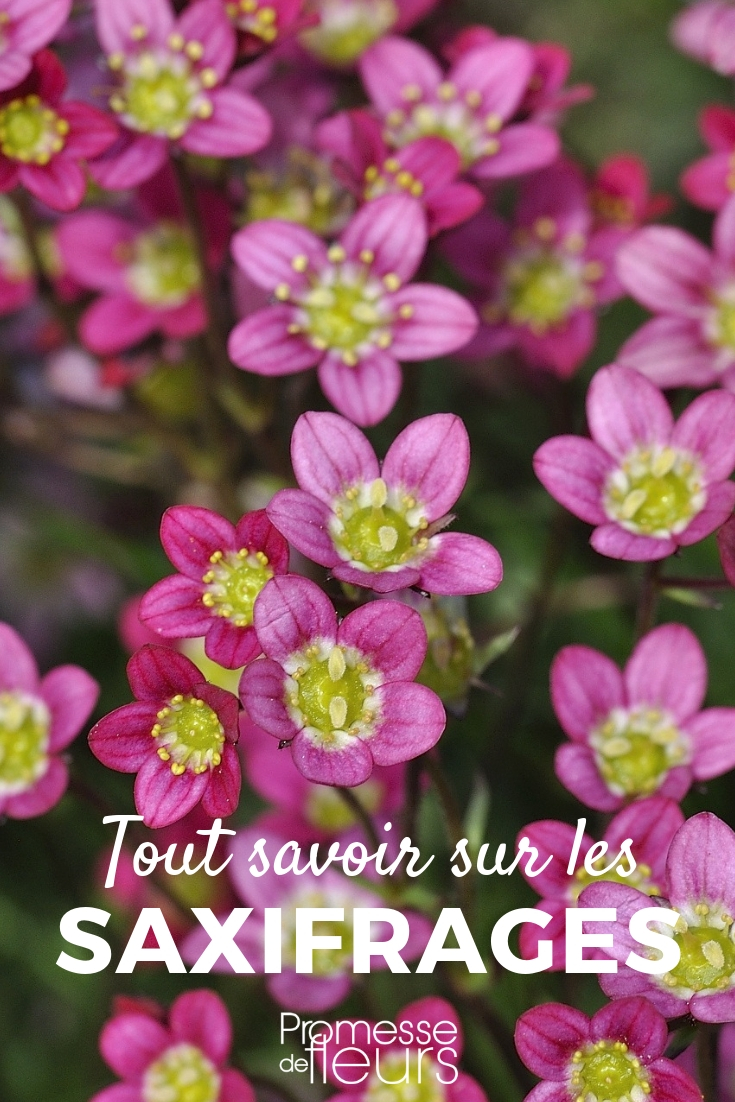 Saxifrages : planter, cultiver, entretenir
