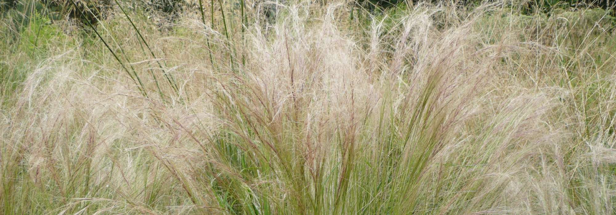Les Plus Belles Graminées stipa, cheveux d'ange : plantation, taille et entretien