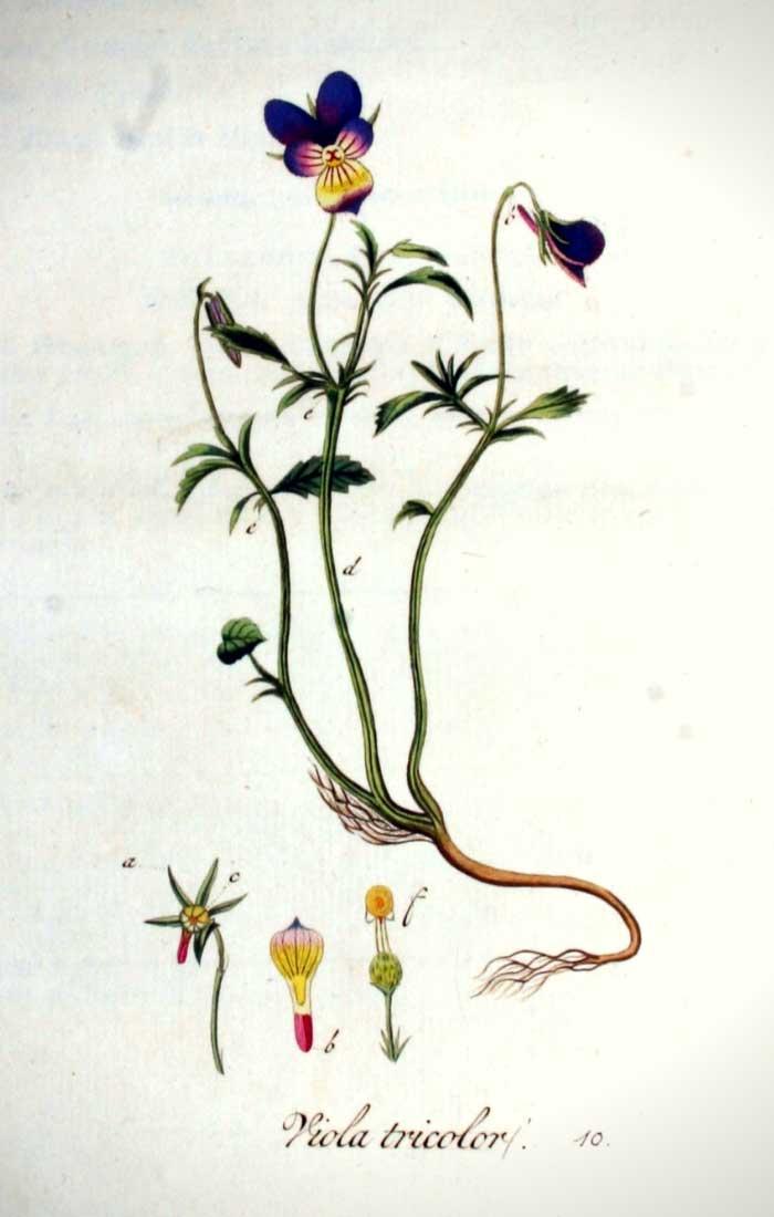 Illustration botanique représentant la Pensée sauvage