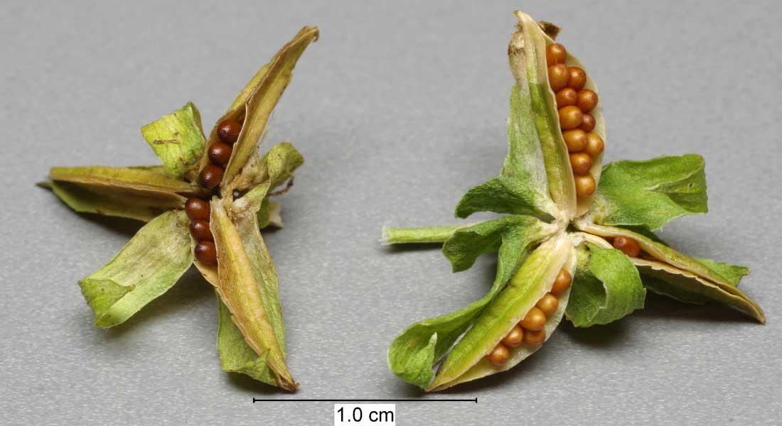Les graines arrondies des Pensées, contenues dans un fruit à trois valves