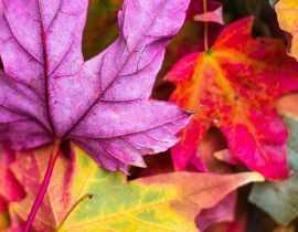 Les plus beaux arbres et arbustes à coloration automnale