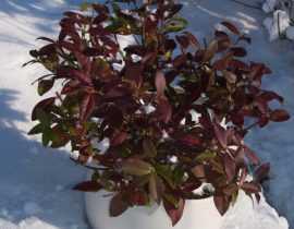 Le Jasmin Winter Ruby : une variété au feuillage unique !