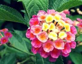 Lantana: plantation, bouture, entretien