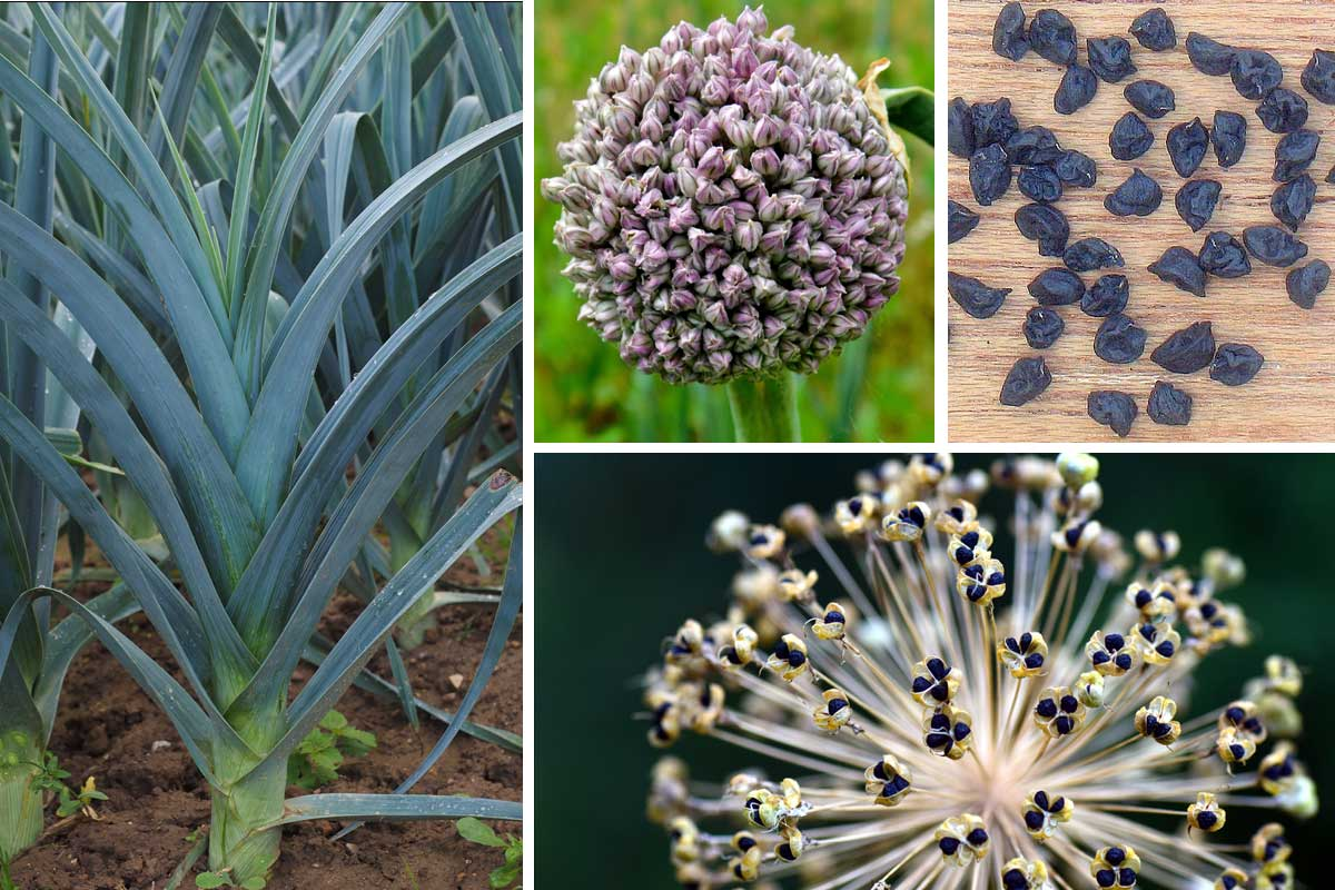 Les poireaux : semer, planter, cultiver, récolter - Promesse de Fleurs