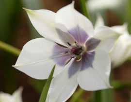 Tulipes botaniques : 7 variétés à découvrir