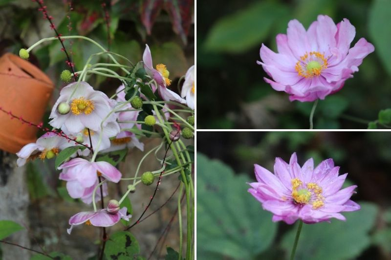 Anemone du Japon, fleurs d'automne