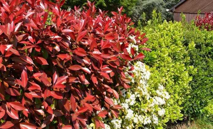 Haie fleurie quels arbustes planter quand et comment blog promesse de fleurs - Haie de jardin qui pousse vite ...