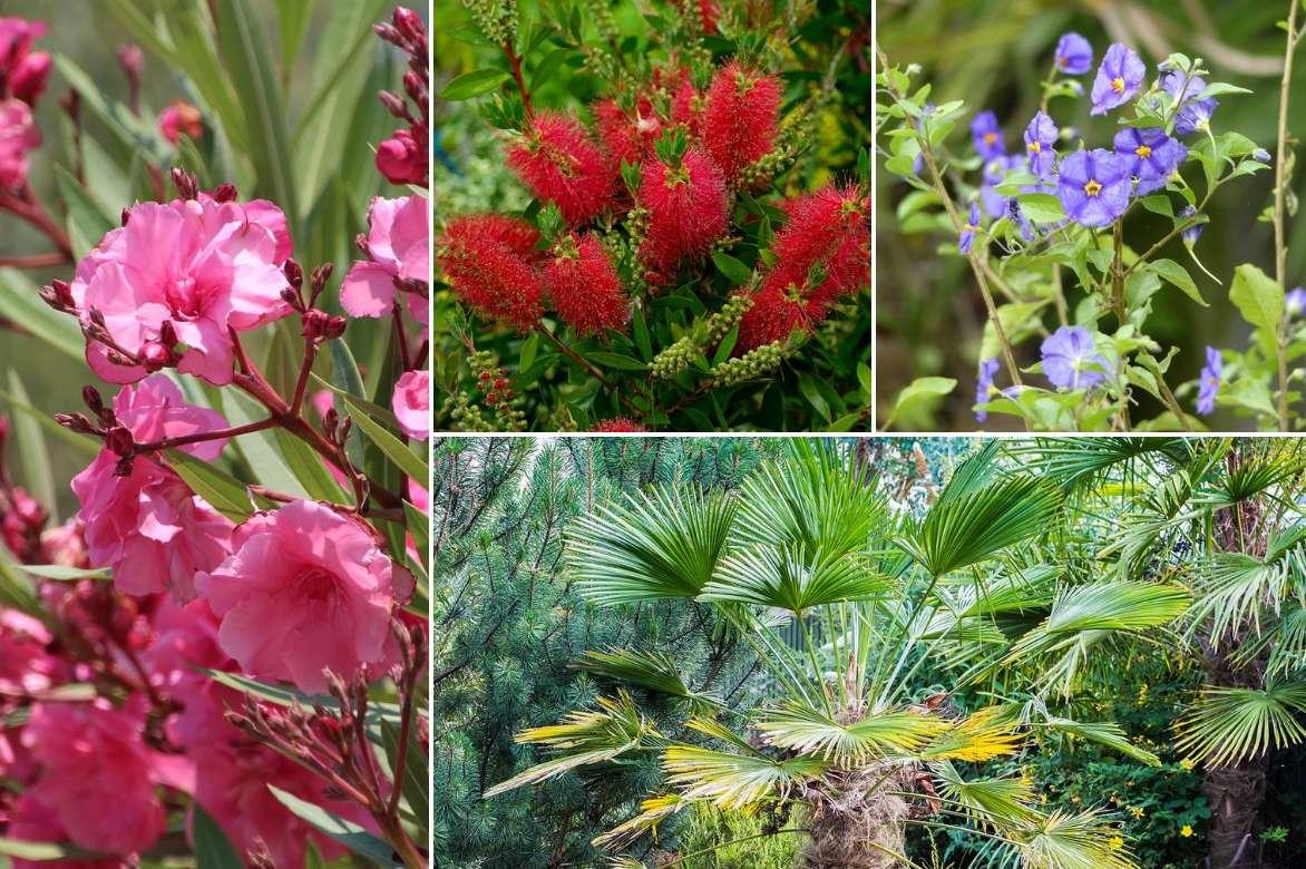 A Quelle Periode Tailler Les Lauriers laurier rose, nerium oleander : plantation, culture