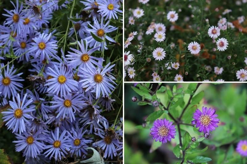 Aster, fleurs d'automne