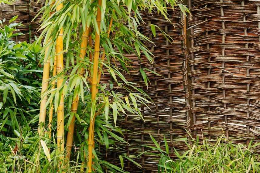 quel type de bambou choisir nos conseils promesse de fleurs. Black Bedroom Furniture Sets. Home Design Ideas