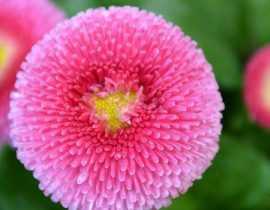 Pâquerette, bellis perennis : planter, semer et cultiver